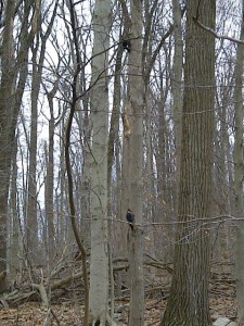 pileated woodpeckers 2