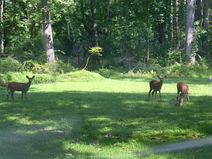 fawns in yard 2-20140816-00792